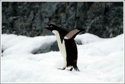 Ad�lie Penguin flapping wings.