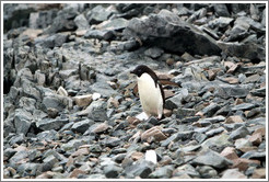Ad�lie Penguin walking on the rocks.