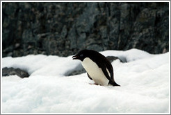 Ad�lie Penguin standing on the snow.