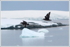 Brown Skuas flying.