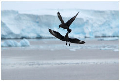 Brown Skua fighting.