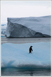 Ad?e Penguin on an iceberg.