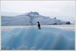 Ad�lie Penguin on an iceberg.