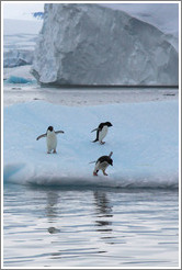 Three Ad?e Penguins on an iceberg, preparing to jump into the water.