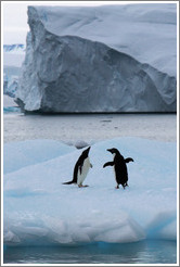 Two Ad?e Penguin on an iceberg.