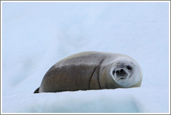 Crabeater Seal on an iceberg.