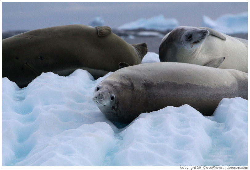 Three Crabeater Seals on an iceberg.