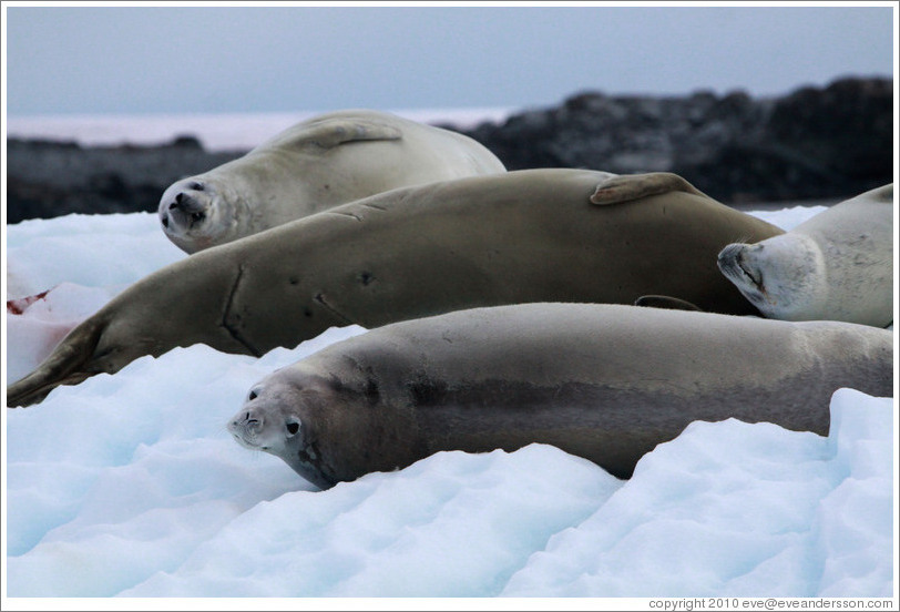 Crabeater Seals on an iceberg.