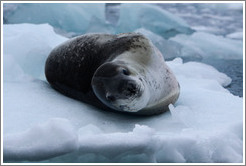 Leopard Seal on an iceberg.
