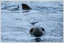 Leopard Seal swimming.