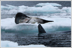 Two Leopard Seals, one swimming.