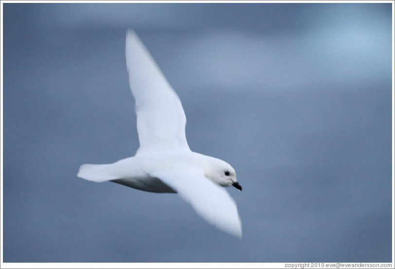 Snow Petrel flying.