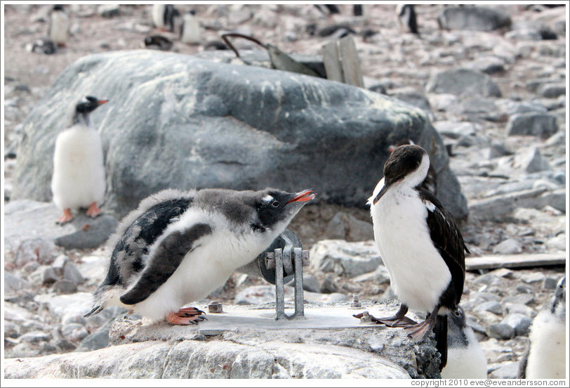 Baby Gentoo Penguin successfully driving away Cormorant.