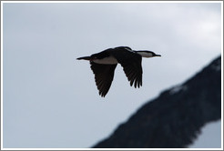 Cormorant flying.