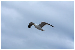 Kelp Gull flying.