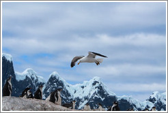 Kelp Gull flying over Gentoo Penguins.