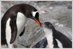 Parent and baby Gentoo Penguin.