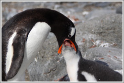 Parent feeding baby Gentoo Penguin.