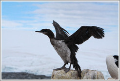 Ragged Cormorant attempting to take off.