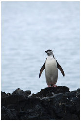 Chinstrap Penguin standing on a rock.