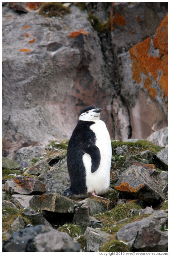 Chinstrap Penguin among mossy rocks.