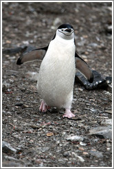 Chinstrap Penguin walking.