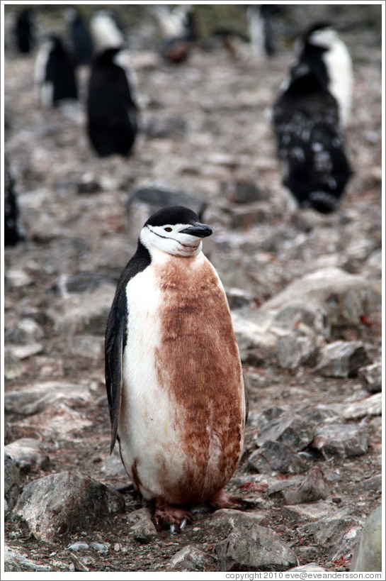 Dirty Chinstrap Penguin.
