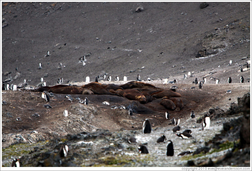 Young Elephant Seals surrounded by Chinstrap Penguins.