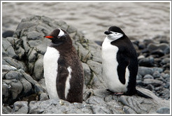 One Gentoo Penguin and one Chinstrap Penguin.