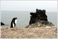 Gentoo Penguin and black rock.