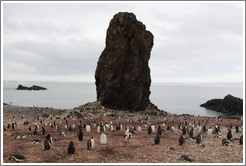 Gentoo Penguins and rock.