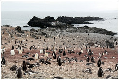 Gentoo Penguins and volcanic rocks.