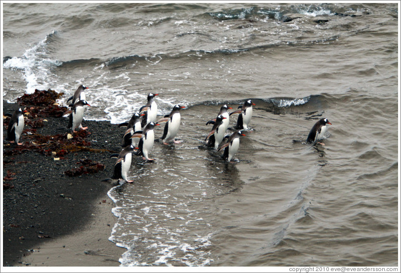 Gentoo Penguins entering the water.