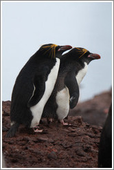 Two Macaroni Penguins.