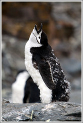 Young molting Chinstrap Penguin calling.