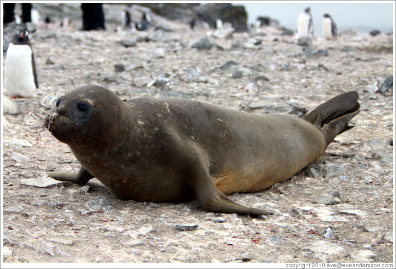 Young molting Elephant Seal.