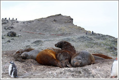 Young Elephant Seals molting.  Young Gentoo Penguin in the foreground.