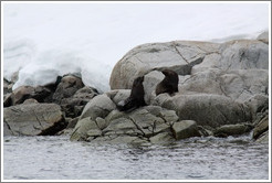 Two Fur Seals.