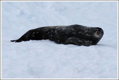 Weddell Seal lying in the snow.