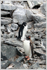 One Ad?e Penguin and one Gentoo Penguin.