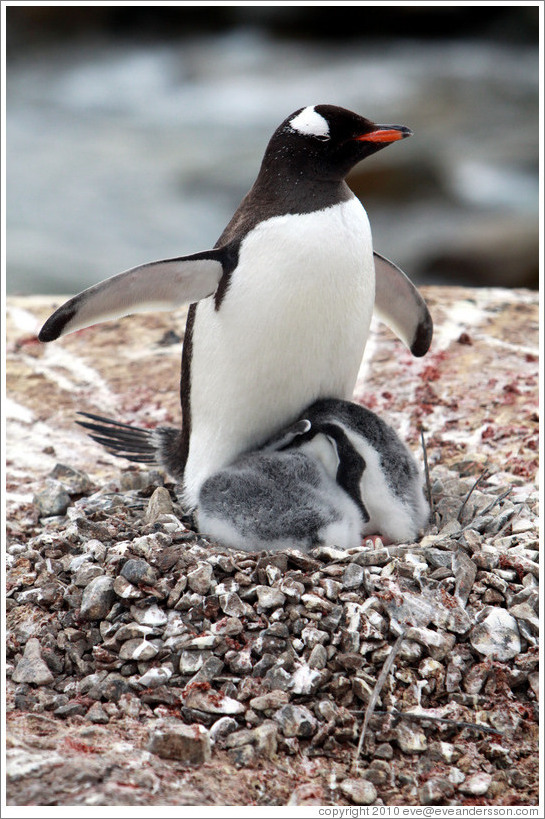Parent Gentoo Penguin ...