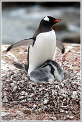 Parent Gentoo Penguin warming babies in rock nest.