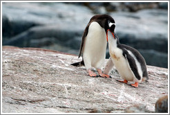 Parent Gentoo Penguin feeding baby.