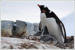 Parent Gentoo Penguins warming babies in rock nests.