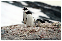Parent and child Gentoo Penguins.