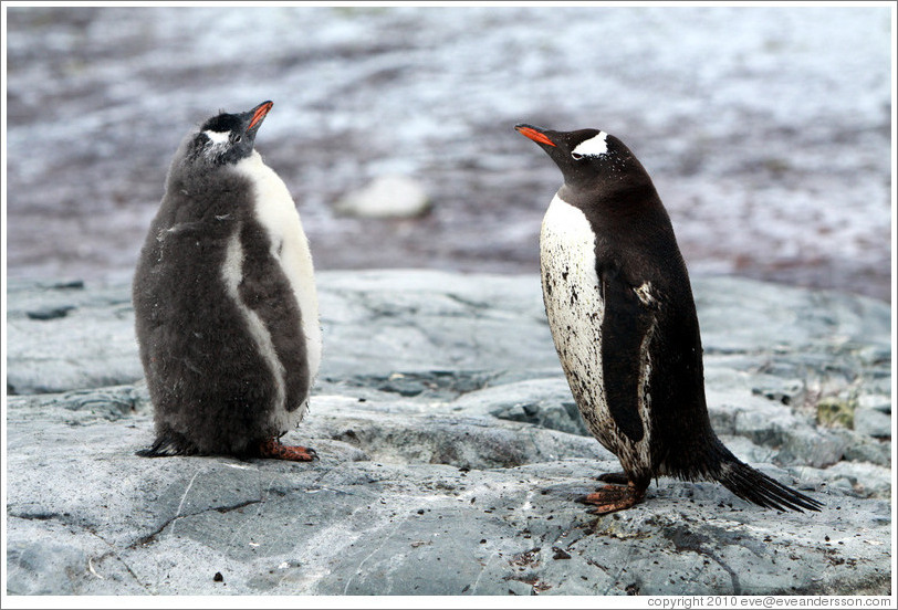 Child and parent Gentoo Penguins.
