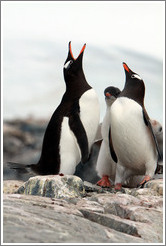 Gentoo Penguins, one calling.