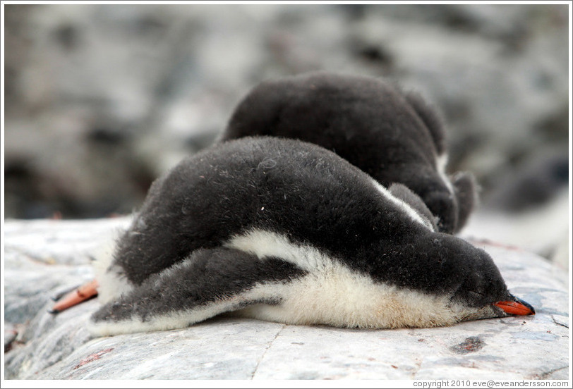 Baby Gentoo Penguins sleeping.