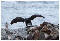 Cormorant taking off.