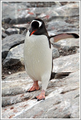 Gentoo Penguin walking.